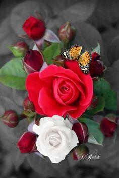 Always Remember Me, Beautiful Roses, Pretty Roses, Life Is Beautiful, Allah Love