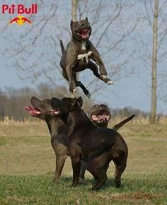 Flying BULL STYLE!! My Love American Bully :) http://www.turmericfordogs.com/blog
