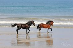 Wild Spanish mustangs running on the beach of the Outer Banks. #johnsamsphotography #photography #travelphotography #wildhorses #horse #stallion #wildlife #canvasprint #photographyprint #homedecor #homedesign #countrystyle #wallart #northcarolina #obx #outerbanks Photography Career, Wildlife Photography, Travel Photography, Running On The Beach, Canvas Art, Canvas Prints, Us Marine Corps, Sams, Wild Horses