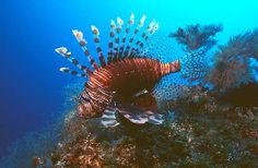 Lion Fish one of the resident marine life at North Stradbroke Island. Scuba Dive Straddie with Manta Lodge and Scuba Centre to experience it