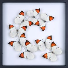 Image of Taxidermy Butterfly Glass Frame Display | Mounted Butterflies No.A062