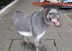 Laughing Donkey with Sombrero hat. Donkey Funny, Donkey Donkey, Baby Donkey, Mini Donkey, Happy Animals, Farm Animals, Animals And Pets, Funny Animals, Cute Animals