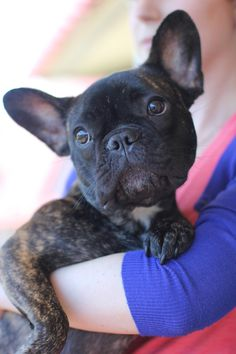 French Bulldog - the ears!!