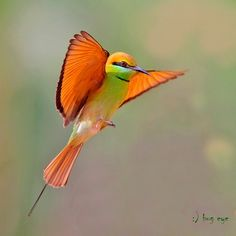 Green Bee-eater / Merops orientails by bambusabird, via Flickr