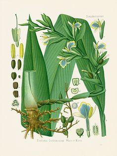 Kohler's Medizinal-Pflanzen Prints 1898