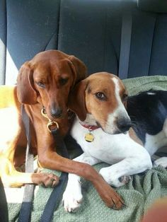 treeing walker couonhound photo | Redbone & treeing walker coonhound! Love hounds! | That Darn Coon Dog