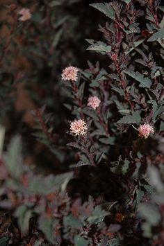 Click to view full-size photo of Little Devil Ninebark (Physocarpus opulifolius 'Little Devil') at The Mustard Seed