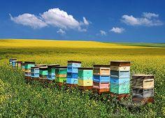 Beehives in a field. #Bienen www.apidaecandles.de