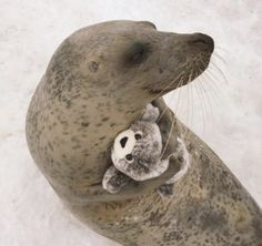 """How adorable is this rescued earless seal hugging and playing with a seal plushy at the Okhotsk Tokkari Center in Monbetsu, Hokkaido, Japan! """"Tokkari"""" is the Ainu word for """"azaras…"""