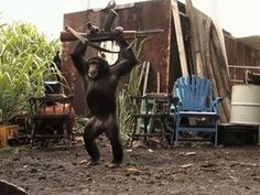 Never give a chimpanzee a rifle. One of the most hilarious, odd things I have seen. Enjoy more on RushWorld board, GIFS TOP ON EARTH. See you at RushWorld! Ak 47, In Theaters Now, Mountain Gorilla, Wtf Moments, Guerilla Marketing, Planet Of The Apes, Male Hands, Best Places To Travel, Funny Facts