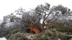 Snowgum tree