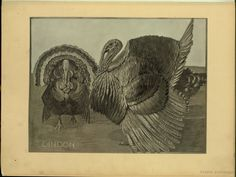 Dindon - ID: 102284 - NYPL Digital Gallery