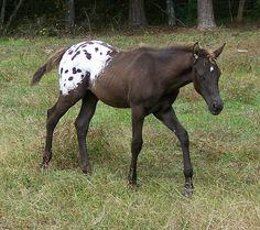 Poco Fancy Girl and 09 Beautiful Horse Pictures, Most Beautiful Animals, Beautiful Horses, Appaloosa Horses, Breyer Horses, Horse Tack, Horse Markings, Barrel Racing Horses, Horses
