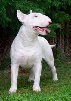 Bullies ain't the cutest dogs but they're the best! Chien Bull Terrier, Mini Bull Terriers, Miniature Bull Terrier, English Bull Terriers, Pitbull Terrier, Sweet Dogs, Cute Dogs, Terrier Breeds, Dog Breeds