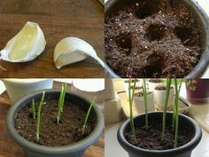 Grow garlic indoors using a clove from the grocery store - learn more about growing food from kitchen scraps. Lawn And Garden, Indoor Garden, Garden Plants, Indoor Plants, House Plants, Outdoor Gardens, Terrace Garden, Diy Horta, Container Gardening