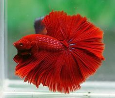 This beautiful betta reminds me of a rose!