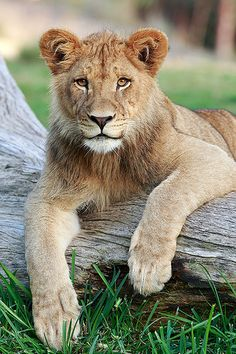 The Regal Lion