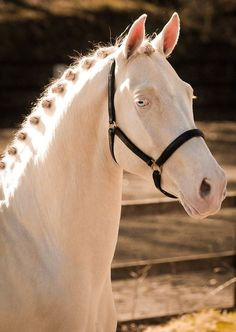 Kambarbay. He is a perlino Akhal-Teke Stallion
