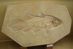 Coelacanth Fossil Ancient Fish, Fish Fossil, Living Fossil, Extinct, Earth Science, Oceans, Geology, Paleo, Stones