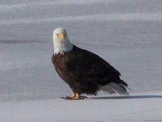 Bald Eagle on the ice-covered Cedar River. 2/6/13
