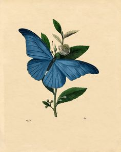 blue butterfly pictures - Google Search