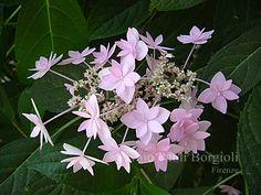 Hydrangea serrata 'Stellata'                                                                                                                                                                                 More