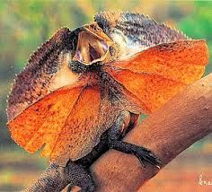 australian animals - Google Search...The Frill Necked Lizard