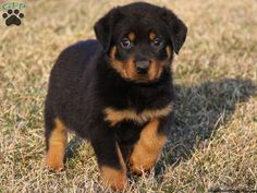 Mack, Rottie puppy for sale from Ephrata, PA