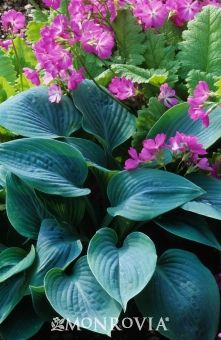 Hadspen Blue Plantain Lily (Hosta x 'Hadspen Blue')