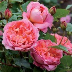Boscobel - David Austin Roses