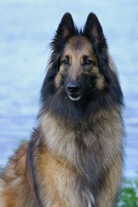 Belgian Tervuren dog art portraits, photographs, information and just plain fun. Also see how artist Kline draws his dog art from only words at drawDOGS.com #drawDOGS