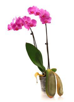 4 Common Orchid Growing Mistakes to Avoid Phalaenopsis orchids are hardy plants that require minimal care. They will grow healthily as long as they are given proper care. Orchid Leaves, Orchid Plants, Phalaenopsis Orchid Care, Orchids Garden, Growing Orchids, Growing Plants, Growing Vegetables, Container Plants, Succulent Containers