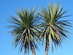 NZ cabbage tree