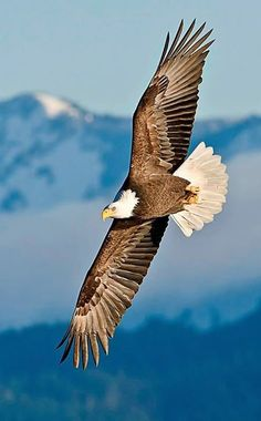 Renewed to Soar! Inspiration from Summit of Light, Volume 1 Eagle Images, Eagle Pictures, Eagle Wallpaper, Animal Wallpaper, Nicolas Vanier, Eagle Painting, Eagle Art, Eagle Tattoos, Wild Nature