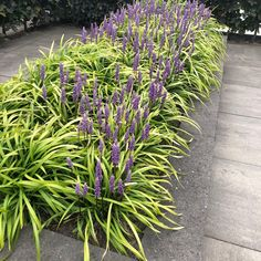 Liriope Muscari Big Blue, Southern Plantation Homes, Side Yards, Light And Space, French Interior, Front Yard Landscaping, My Dream Home, Living Room Decor, New Homes