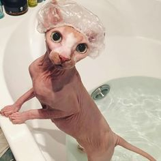 Que banhinho gostoso! O gato Sphynx não é totalmente sem pêlo, mas tem uma co… What a nice little bath! The Sphynx cat is not entirely hairless, but has a peach cover that is soft and warm to the touch. Puppies And Kitties, Cute Kittens, Cats And Kittens, Dogs, Chat Rex, I Love Cats, Crazy Cats, Cute Hairless Cat, Hairless Animals