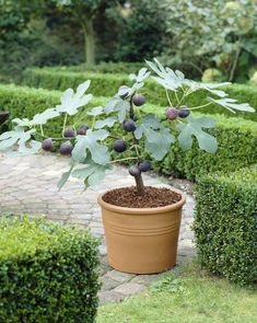 Potted Fig Tree: Figs are sweet, chewy and healthy! Enjoy them right at home with our simple growing and harvesting tips.