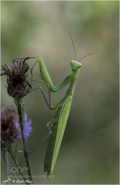 Mantis religiosa by ernstpluess via http://ift.tt/2b6m6xZ