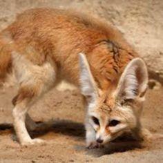 Fox, Animals, Exotic Birds, Animales, Animaux, Animal, Animais, Foxes