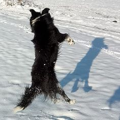 #Finlay #bordercollie #collie #dogs #Hund #dogstagram #dogsofinstagram #dog #bordercolliesofinstagram #borderfame