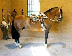Caballo Chileno Pura raza ( Chilean Horse purebred ) Con Montura