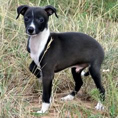 1000+ images about Italian Greyhound, maybe. on Pinterest ...