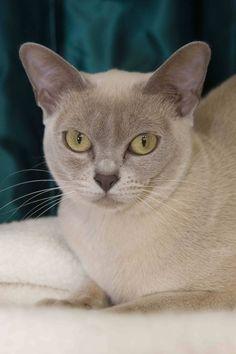 Sykris Burmese Cats