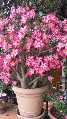 Desert Rose: Adenium obesum [Family: Apocynaceae]