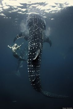 Hannah Fraser, mermaid swimming with whale shark. Photo by Shawn Heinrichs. Swimming With Whale Sharks, Mermaid Swimming, Real Life Mermaids, Mermaids And Mermen, Photography Jobs, Underwater Photography, Digital Photography, Fashion Photography, Mythical Creatures