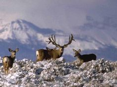 Muleys in the snow