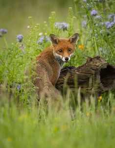 Wild Fox - after months of trying to encourage Foxes into my Orchard the work is finally starting to pay off.