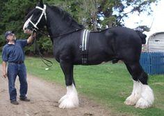 Starcastle Challenger, Shire stallion