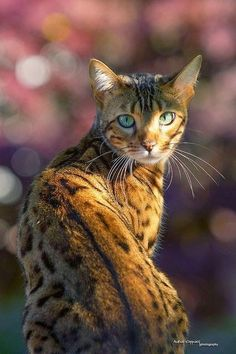 Bengal Cat in the Garden - - Our sweet Nala sitting in front of a japanese Maple Tree which gives a nice autumnal Bokeh ;-) Sony 'Plastic Cam' Alpha 58 & Sony G SSM. Most Beautiful Cat Breeds, Beautiful Cats, Animals Beautiful, Cute Animals, Cute Cats And Dogs, Cool Cats, Cats And Kittens, Cats Bus, Ragdoll Kittens
