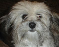 havanese | click hereto see Zoey's page